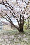 Flores de cerezo rosadas en la plena floración contra un cielo azul foto de archivo libre de regalías