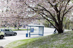 Flores de cerezo rosadas en la plena floración contra un cielo azul fotos de archivo libres de regalías