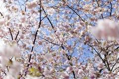 Flores de cerezo rosadas en la plena floración contra un cielo azul fotografía de archivo