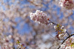 Flores de cerezo rosadas en la plena floración contra un cielo azul foto de archivo