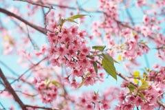 Flores de cerezo rosadas en la rama Foto de archivo libre de regalías