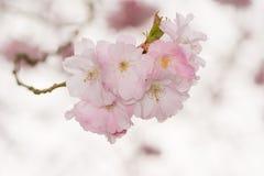 Flores de cerezo rosadas hermosas Imágenes de archivo libres de regalías