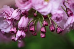 Flores de cerezo rosadas suaves en primavera Foto de archivo libre de regalías