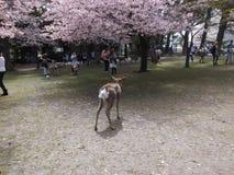 Flores de cerezo Sakura en Nara Park, Japón foto de archivo libre de regalías