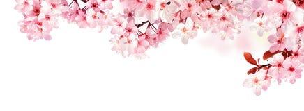 Flores de cerezo soñadoras aisladas en blanco Imagen de archivo