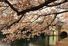 Flores de cerezo sobre el puente Fotos de archivo