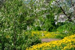 Flores de cerezo sobre fondo borroso de la naturaleza Apenas llovido encendido fotografía de archivo