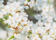 Flores de cerezo un cielo azul, abeja de la miel que vuela al bloomi blanco Imagenes de archivo