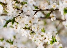 Flores de cerezo un cielo azul, abeja de la miel que vuela al bloomi blanco Fotos de archivo