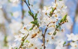 Flores de cerezo un cielo azul, abeja de la miel que vuela al bloomi blanco Imagen de archivo