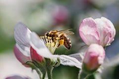 Flores de cerezo y abeja Foto de archivo
