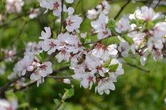 Flores de cerezo y abeja de la miel Foto de archivo