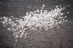 Flores de cerezo y pared de la ciudad antigua Fotografía de archivo