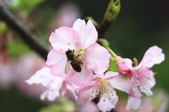 Flores de cerezo y primer de la abeja Foto de archivo