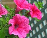 Flores de cesta de suspensão Fotos de Stock
