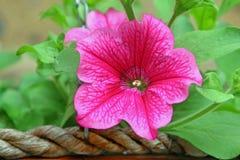 Flores de cesta de suspensão Foto de Stock Royalty Free