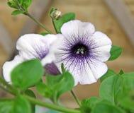 Flores de cesta de suspensão Imagens de Stock Royalty Free