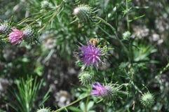 Flores de Chamaepeuce em Chipre Fotografia de Stock