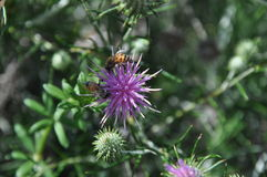 Flores de Chamaepeuce em Chipre Imagem de Stock Royalty Free