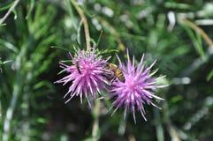 Flores de Chamaepeuce em Chipre Fotografia de Stock Royalty Free