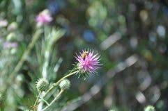 Flores de Chamaepeuce em Chipre Foto de Stock