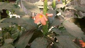 Flores de Chameli Fotografía de archivo libre de regalías