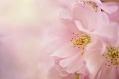 Flores de Chery en primavera Fotografía de archivo