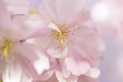 Flores de Chery en primavera Foto de archivo