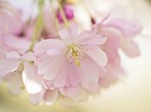 Flores de Chery en primavera Imagenes de archivo