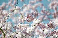Flores de Chery en primavera Imagen de archivo libre de regalías