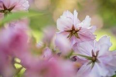 Flores de Chery en primavera Fotos de archivo