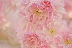 Flores de Chery en primavera Fotografía de archivo libre de regalías