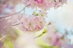 Flores de Chery en primavera Foto de archivo libre de regalías