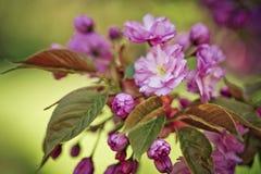 Flores de Chery en primavera Imágenes de archivo libres de regalías