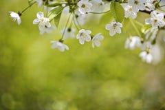 Flores de Chery en primavera Fotos de archivo libres de regalías