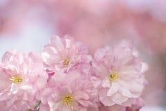 Flores de Chery en primavera Imagen de archivo