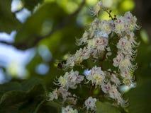Flores de Chesnuts Imagenes de archivo