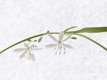 Flores de Chlorophytum na haste No papel de fundo Fotografia de Stock Royalty Free