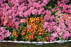 Flores de Chrysantimum y fondo de la cerca Fotografía de archivo libre de regalías