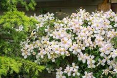 Flores de clematites montana da clematite de montanha que cresce em uma cerca em um jardim urbano foto de stock