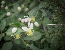 Flores de Clematus e espinhos da acácia no campo Imagens de Stock Royalty Free