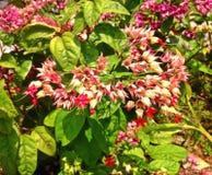 Flores de Clerodendrum Fotografia de Stock Royalty Free