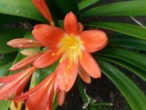 Flores de Clivia con gotas de lluvia Imagenes de archivo