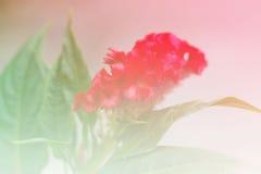 Flores de Cockscomb foto de stock