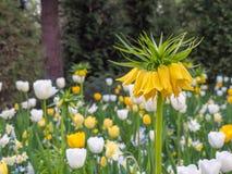 Flores de color amarillo oscuro de la aurora de Imperialis del Fritillaria con los tulipanes fotografía de archivo