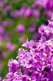 Flores de color de malva Fotos de archivo