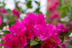 Flores de color rosa oscuro de la buganvilla Fotografía de archivo