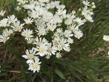 Flores de Colorado Imagens de Stock