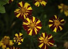 Flores de Colourfull com amarelo e o vermelho fotos de stock royalty free