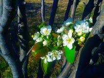 flores de contraste da ameixa fotografia de stock royalty free